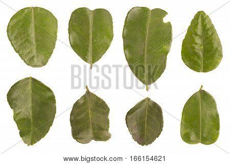 Kaffir Lime Leaves Set