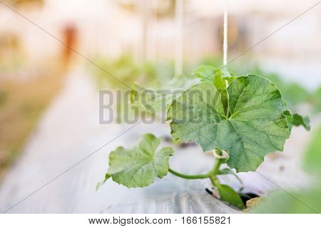 close up seedling melon growing in field plant agriculture farm.