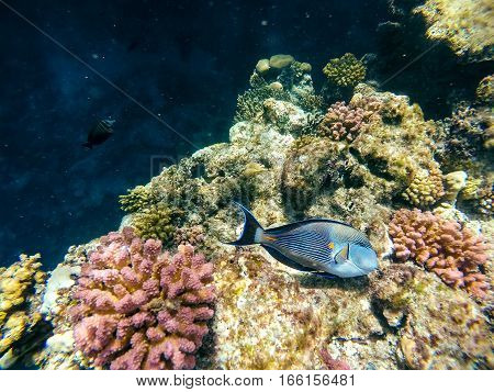 Coral And Fish In The Red Sea. Safaga, Egypt