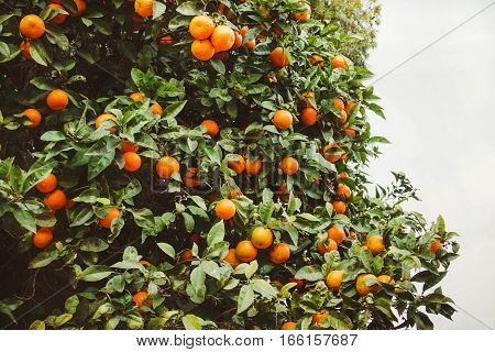 Green orange trees with a lot of oranges