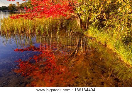 Autumn Wetlands Reflection. Autumn maple tree in vibrant peak fall colors reflected in a small pond. Ludington State Park. Ludington, Michigan