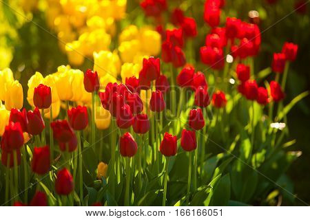 Beautiful Background Image Of Tulips For Women's Day
