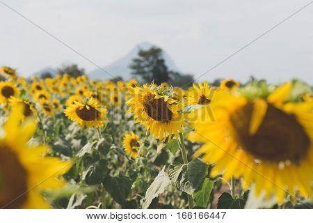 Summer Sunflower Field. Field Of Sunflowers With Blue Sky. A Sunflower Field At Sunset.
