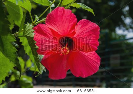 Beautiful blooming in a tropical park red hibiscus close-up. With place for your text, for background use