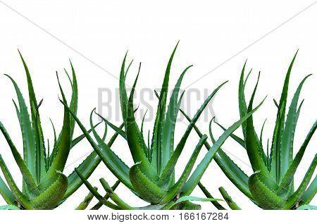 Group of Aloe Vera isolate on white background