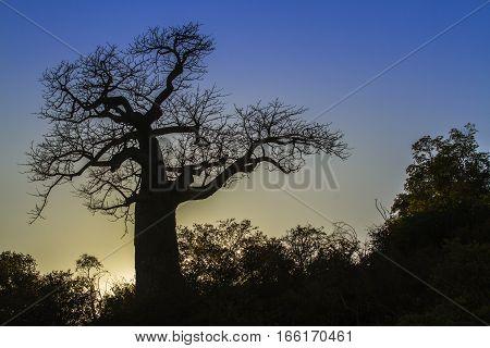 Baobab tree in Kruger national park, South Africa ; Specie Adansonia digitata family of Malvaceae