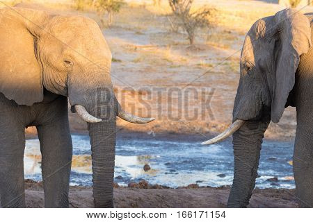 Couple Of Adult African Elephant Facing Each Others At Waterhole. Wildlife Safari In The Chobe Natio