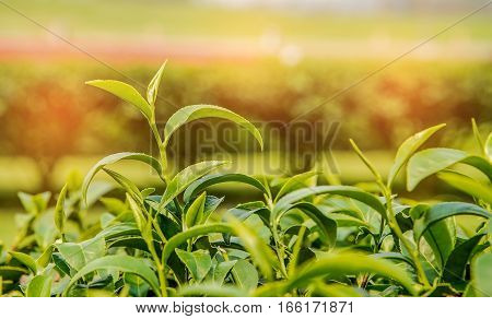 Tea Top tea plantation Tea plantation Tea leaves.