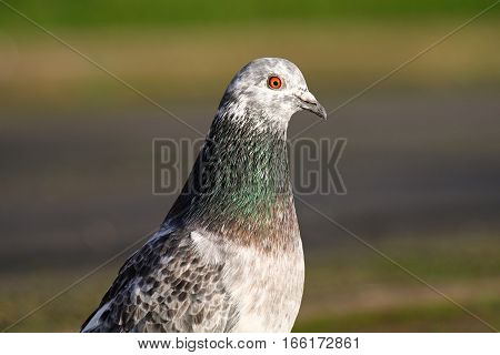 A white headed feral pigeon in a park