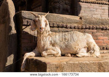 white goat lying near brick wall Nepal.