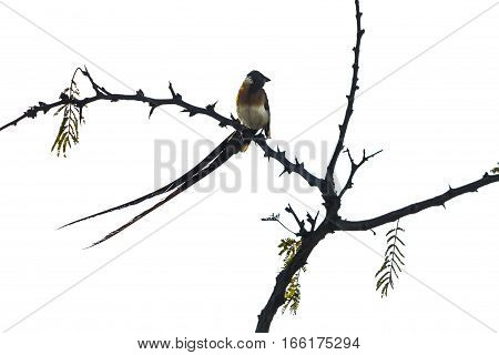 Broad-billed paradise-whydah in Kruger national park, South Africa ; Specie Vidua paradisaea family of Viduidae