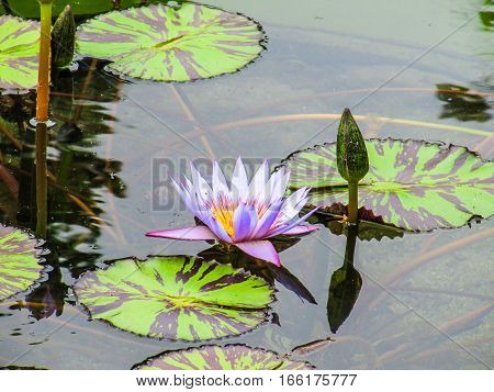 Purple water lily flower in pond with striped pads