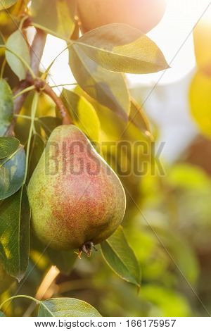 Pears on a tree branch closeup in orchard. Pear fruit on the tree in the fruit garden with sunshine on sunset. Pear hanging on tree. Fruit background