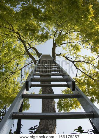 An aluminium ladder leaned against leafy tree trunk allow you to reach the top of this tree