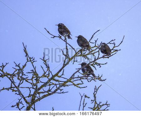 Four common or european starling birds, sturnus vulgaris, on a tree by winter