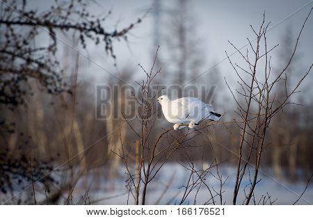 Tundra Partridge was shot in Noviy Urengoy. West Syberia.