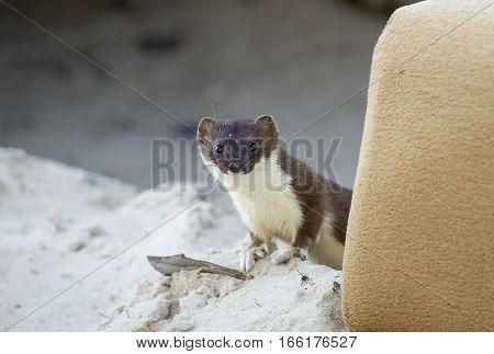 Curios weasel. Little hunter was shot in Noviy Urengoy. Syberia. Russia