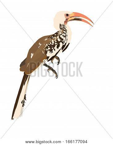 Yellow Billed Hornbill (toko)