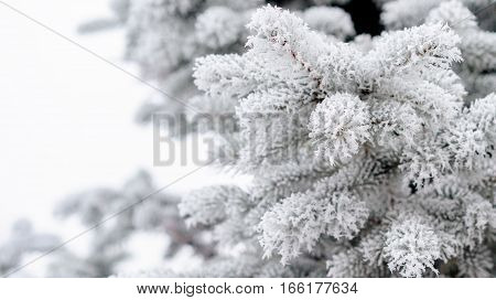 light blue branches of slender young fir tree