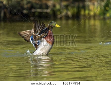 Male mallard duck shaking wings while in the water pond