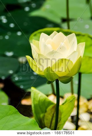 Lotus and water lily pond with blooming white flowers macro closeup