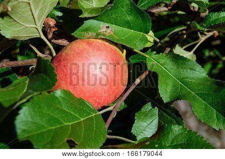Macro closeup of apple surrounded by green leaves on tree