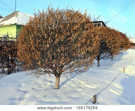 winter tree with withered leaves and a round crown