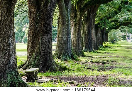 Rows of old southern oak trees with bench in New Orleans park