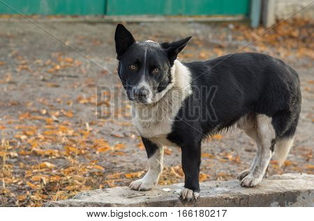 Outdoor portrait of black stocky mixed breed dog ready to defend its territory