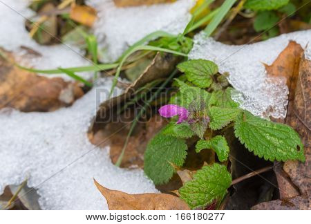 Wild tiny flower among foliage covered with early snow in late autumnal season.