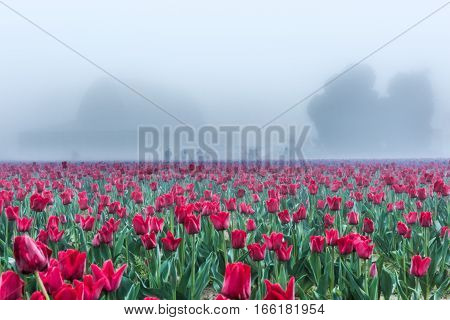 Field of red tulips with morning fog and mist with silhouettes of barn and people