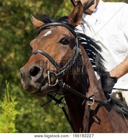 Portrait of beautiful  purebred brown horse, Caucasus
