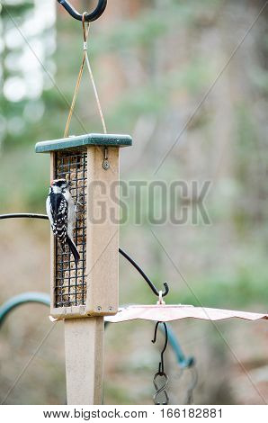 Hairy woodpecker eating from bird feeder outside