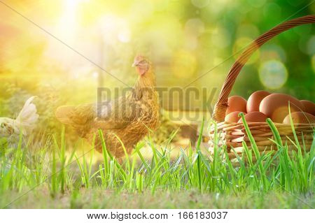 Freshly Picked Eggs In Basket On The Field With Chickens