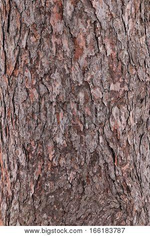 Texture closeup of tree bark. Background of bark tree