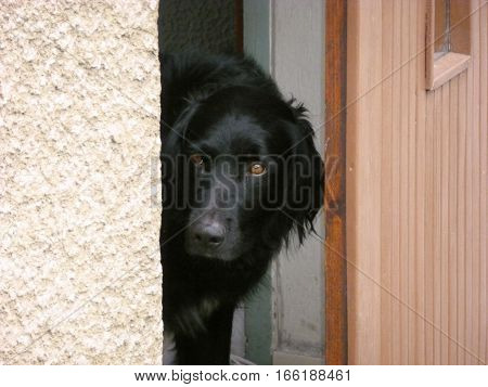 Photo of a black dog looking out of an open door