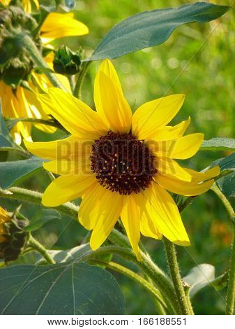 Photo of a sunflower surrounded by greenery