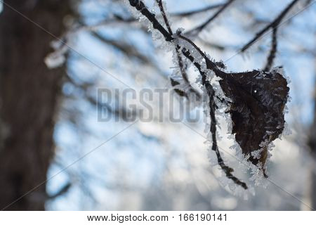 winter branches of trees in hoarfrost glint in the sun. The fine winter mountains landscape. Sunny day. the dried-up leaf in hoarfrost