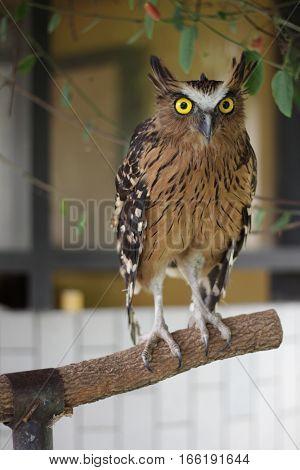 buffy fish owl (Bubo ketupu) in taman mini indonesia indah a series of images