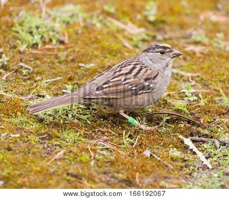 Golden-crowned Sparrow (Zonotrichia atricapilla) perched on the ground. Santa Cruz, California, USA.