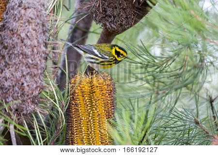 Townsend's Warbler (Setophaga townsendi) perched on Hairpin Banskia (Banksia spinulosa). Adult, Male. Santa Cruz, California, USA.