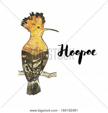 Hand Drawn Set Of Watercolor Isolated Bird Hoopoe With Handwritten Words Lettering On White Backgrou