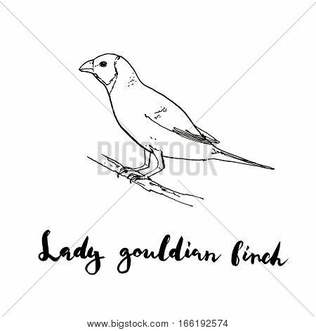 Hand Drawn Set Of Graphic Isolated Bird Lady Gouldian Finch On White Background With Handwritten Wor