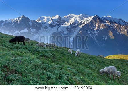 sheep grazing. In background Mont Blanc France