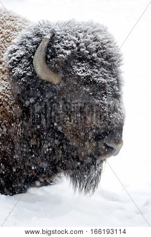 Close bison head in winter day in the snow