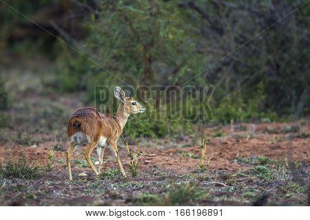 Steenbock in Kruger national park, South Africa ; Specie Raphicerus campestris family of bovidae