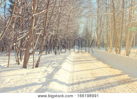 Beautiful winter alley. Park trees covered with snow. Landscape Winter alley with sunlight