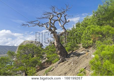 Dried relict pine in the forest on the mountainside. Crimea September.