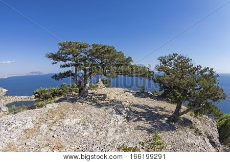 Two relict juniper trees on a mountain top. Crimea sunny day in September. Crimea September.