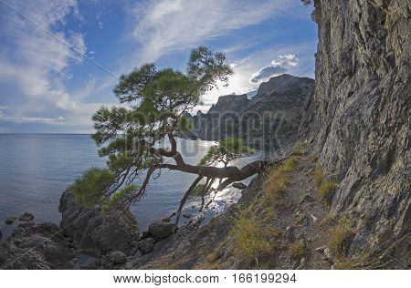 Relict pine tree on a steep sea shore near the old ruined trails. Crimea September.